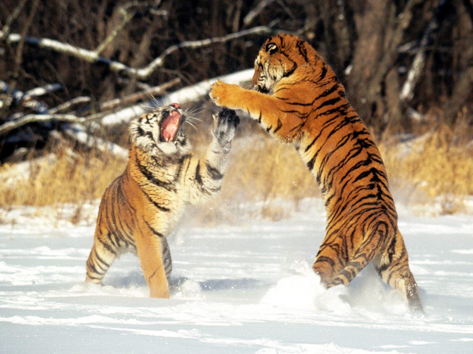 Драка тигров в дикой природе обои