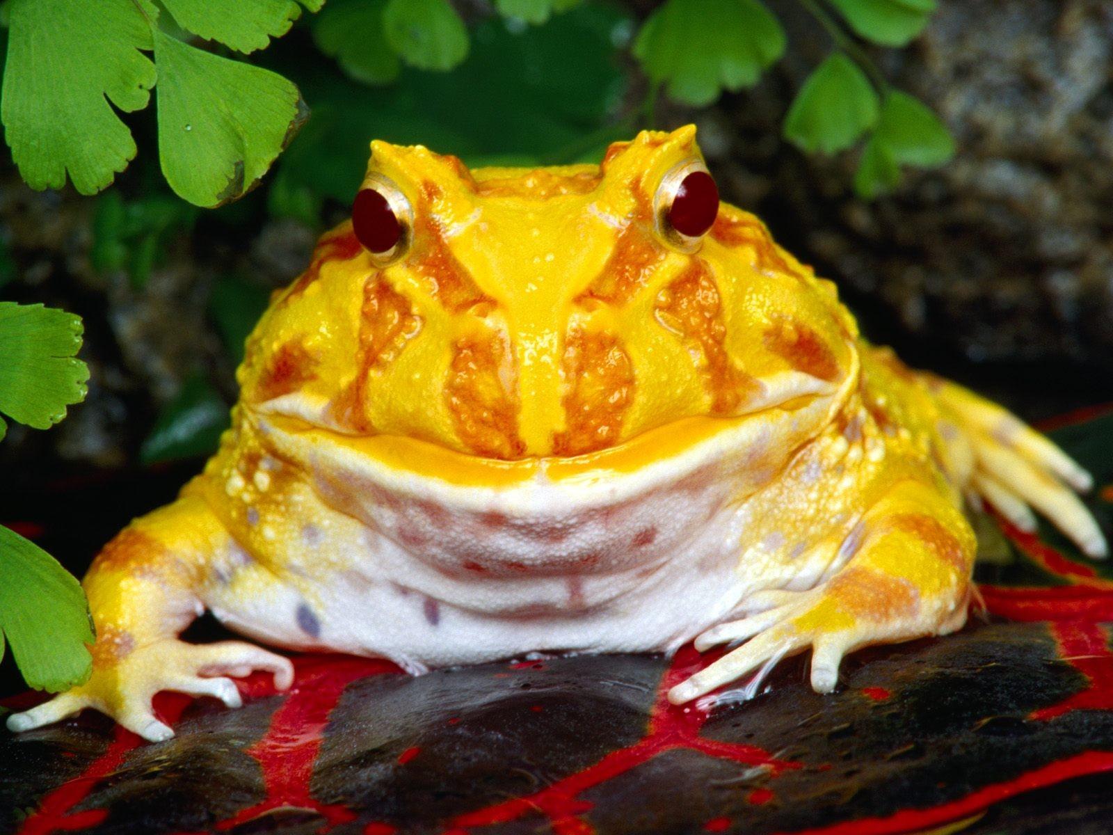 Ядовитая жаба обои (картинки, фото), желтая лягушка, Ядовитая жаба ...