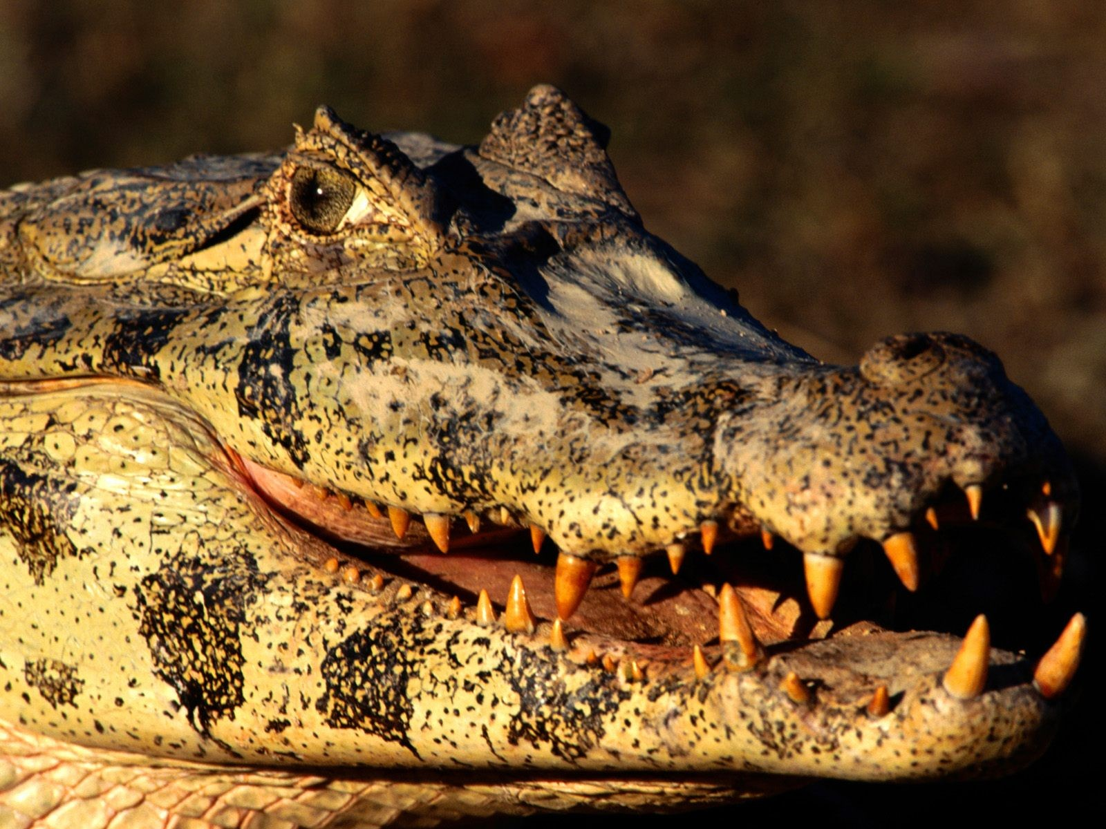 Spectacled caiman videos photos and facts  Caiman