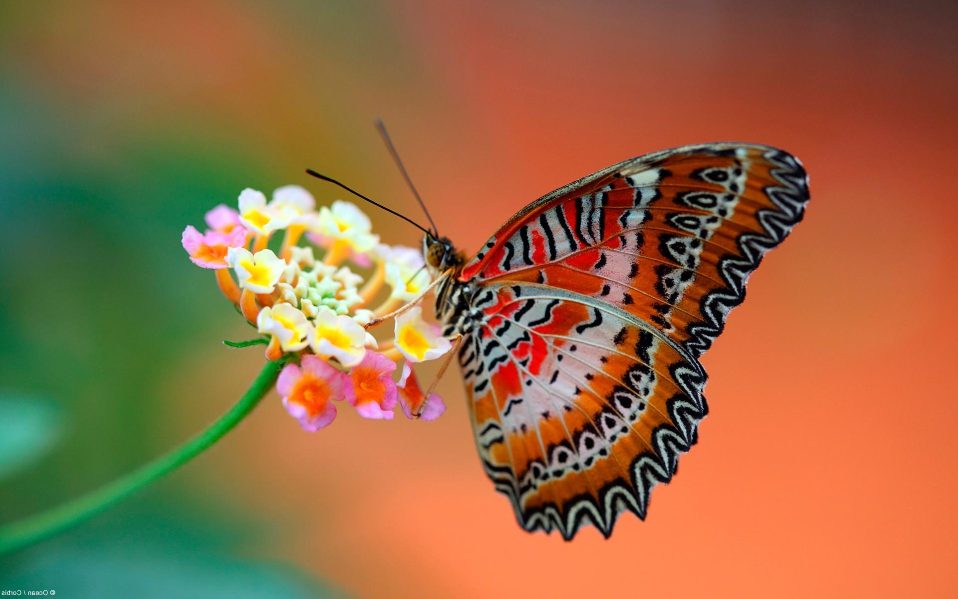 Самая красивая бабочка на цветочке