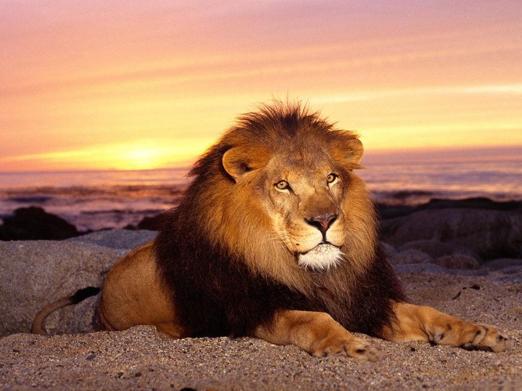 Лев король зверей в дикой пустыне на