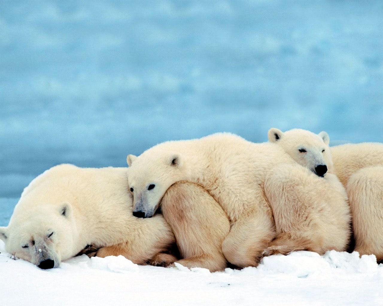 Животные белые медведи