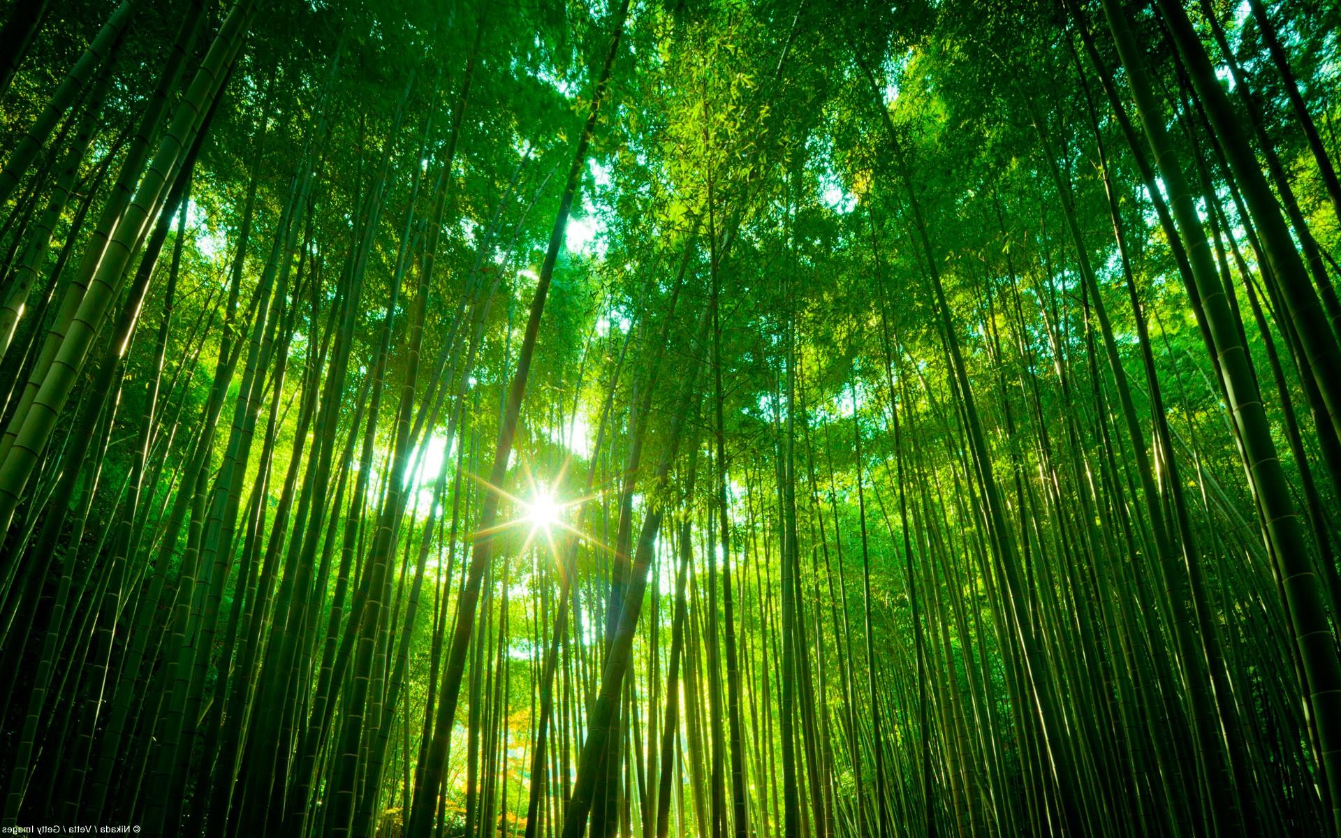 ... обои свет картинки солнце фото: wallspaper.ru/oboi/priroda/5308-bambukovyj-les.html