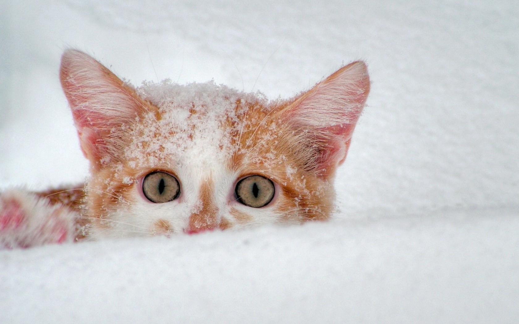 Снег зима белый рыжий кошак обои