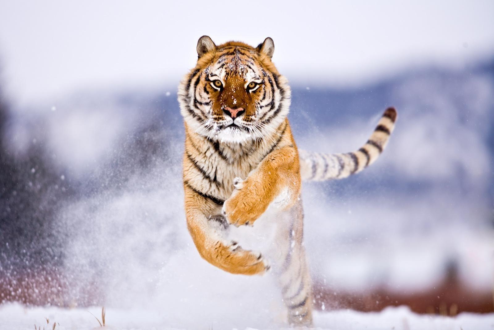 Обои тигр фото