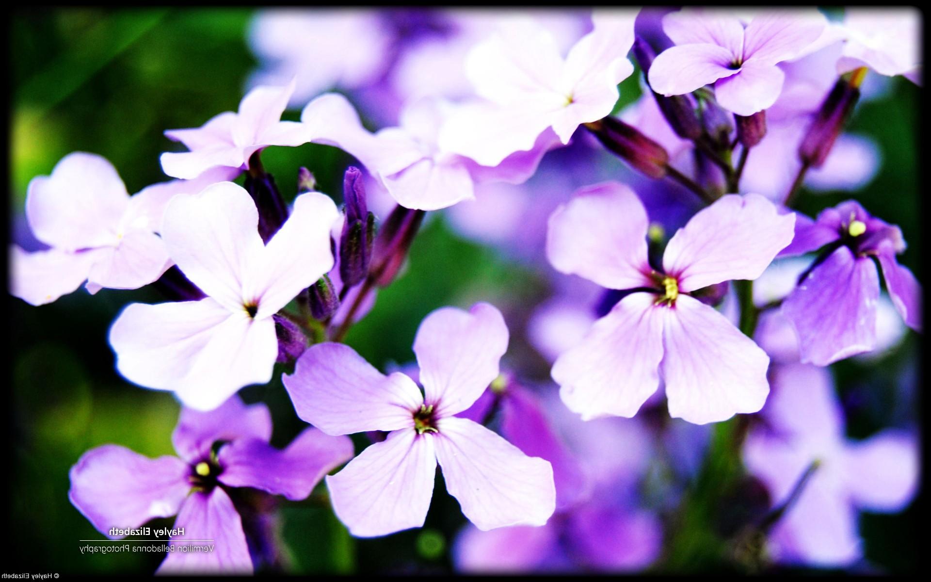 Цветы фиолетовые цветы