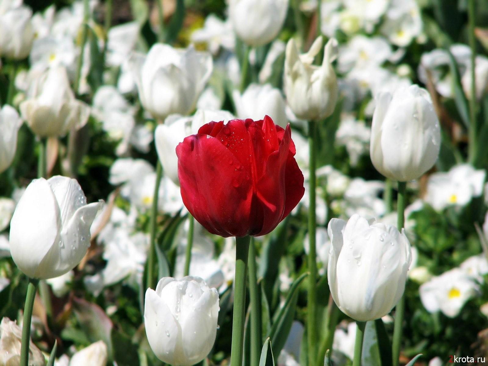 Белые тюльпаны поле из белых