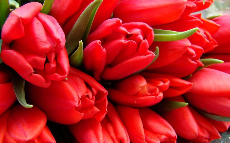 Скачать обои тюльпаны