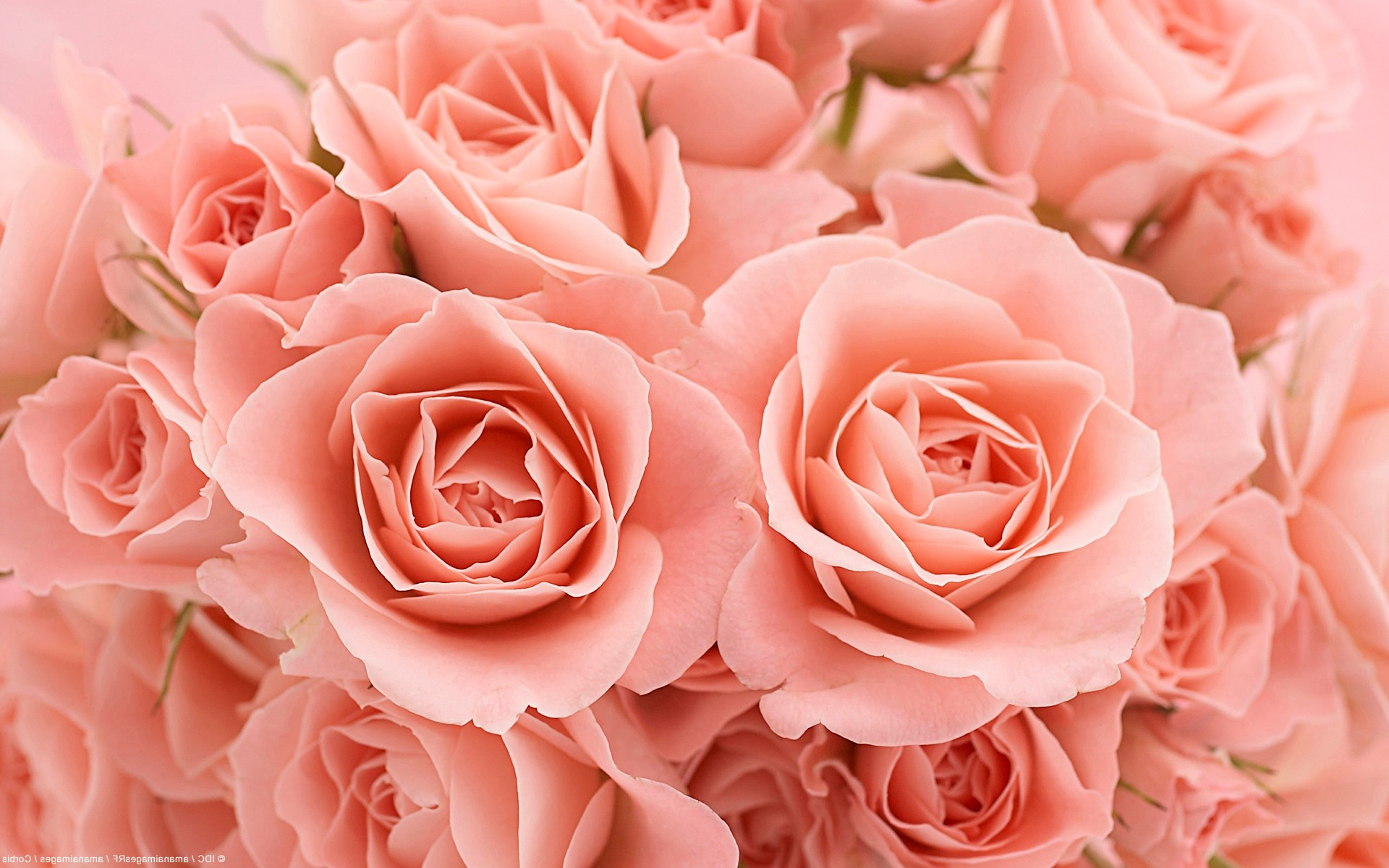 Светло-розовые розы - обои, фото, картинки букет роз на рабочий стол.