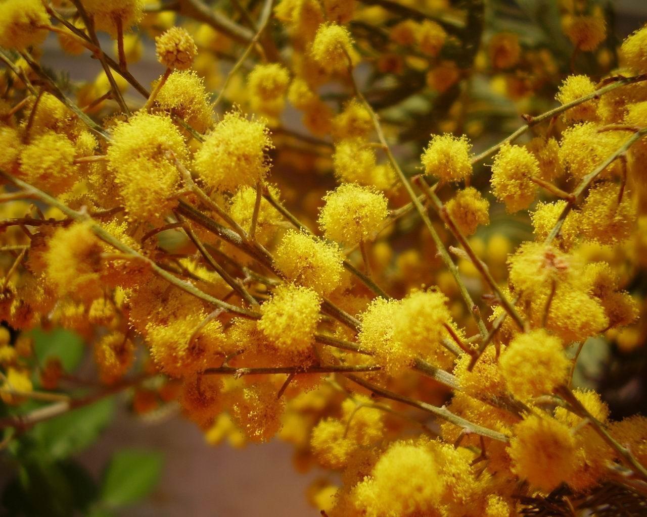 Мимоза обои (картинки, фото), желтая ...: wallspaper.ru/oboi/flowers/208-mimoza.html