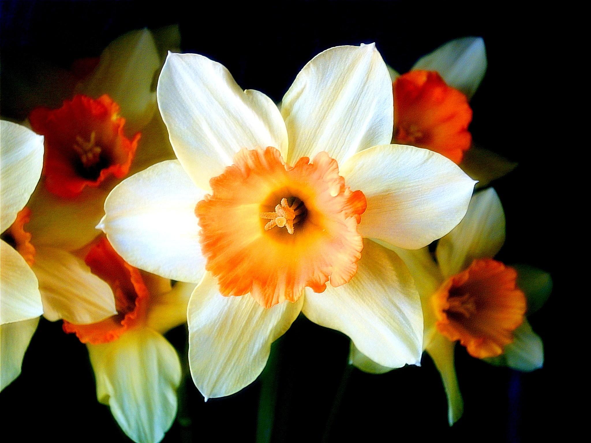 Нарцис обои (картинки, фото), нарцисс ...: wallspaper.ru/oboi/flowers/490-narcis.html