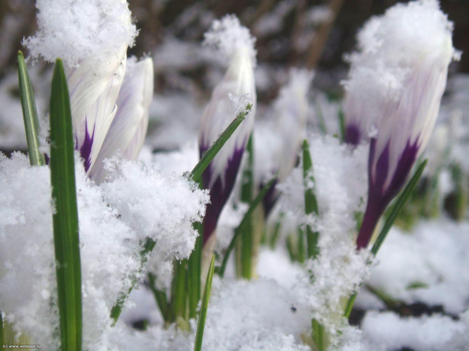 Цветы цветы во льду