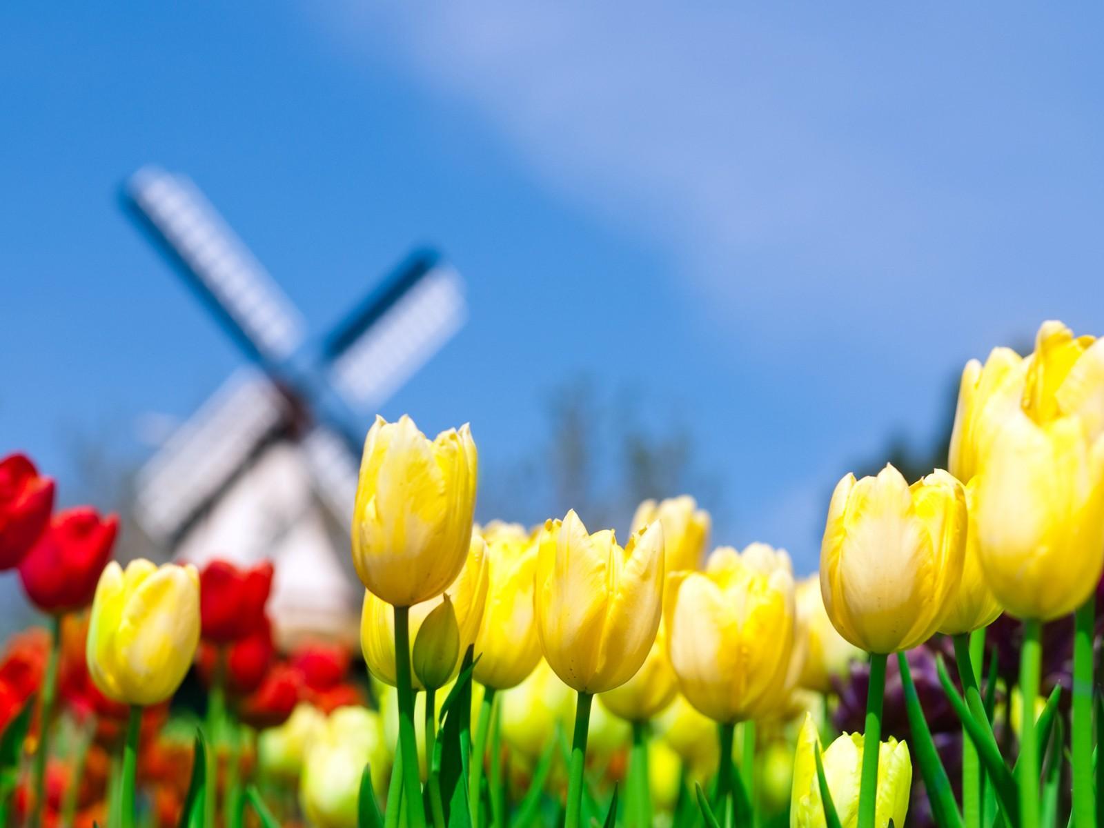 Разноцветные тюльпаны растут на поле