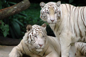 Лев и тигр в дуэте главные в мире