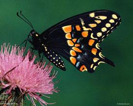 Бабочка на цветке огромная бабочка на